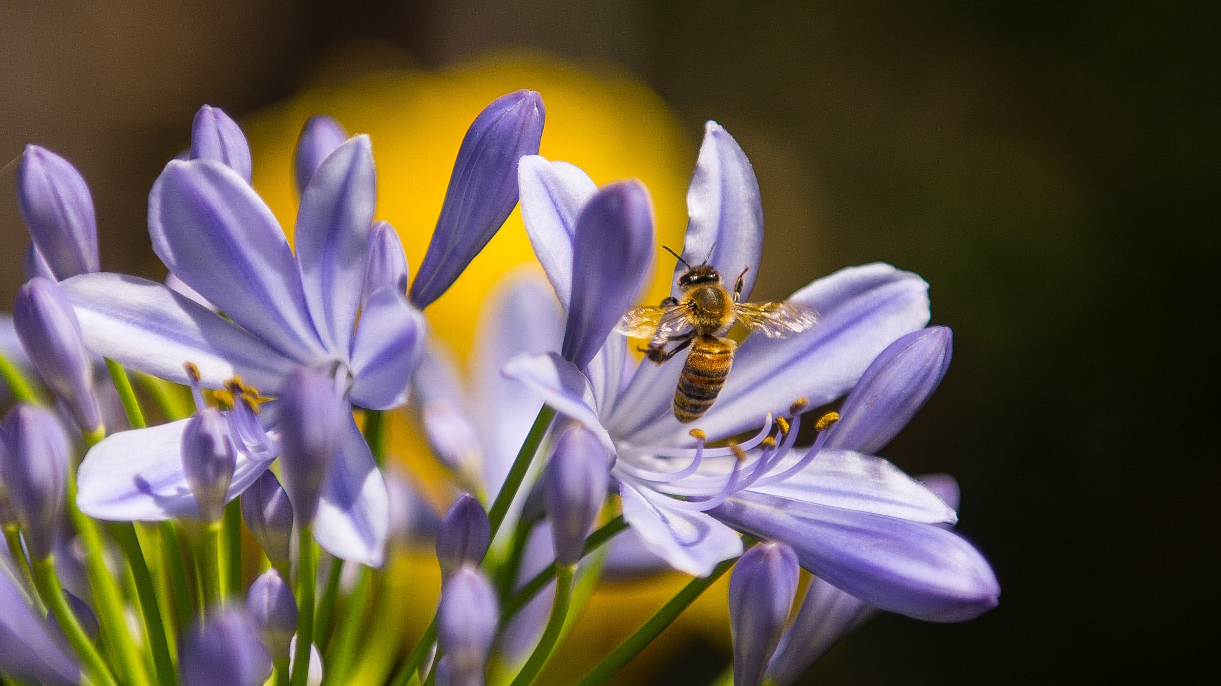 Black and Yellow Bee on Purple Petaled Flower