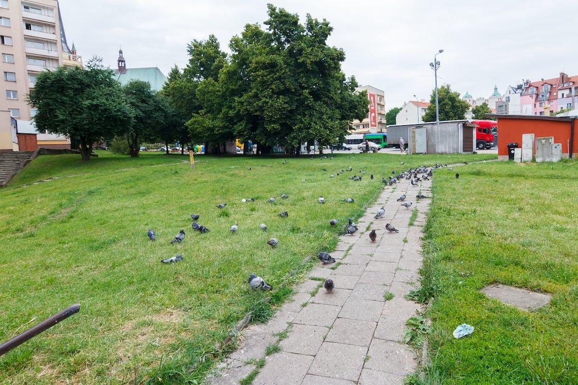 golebie, pigeons, pologne
