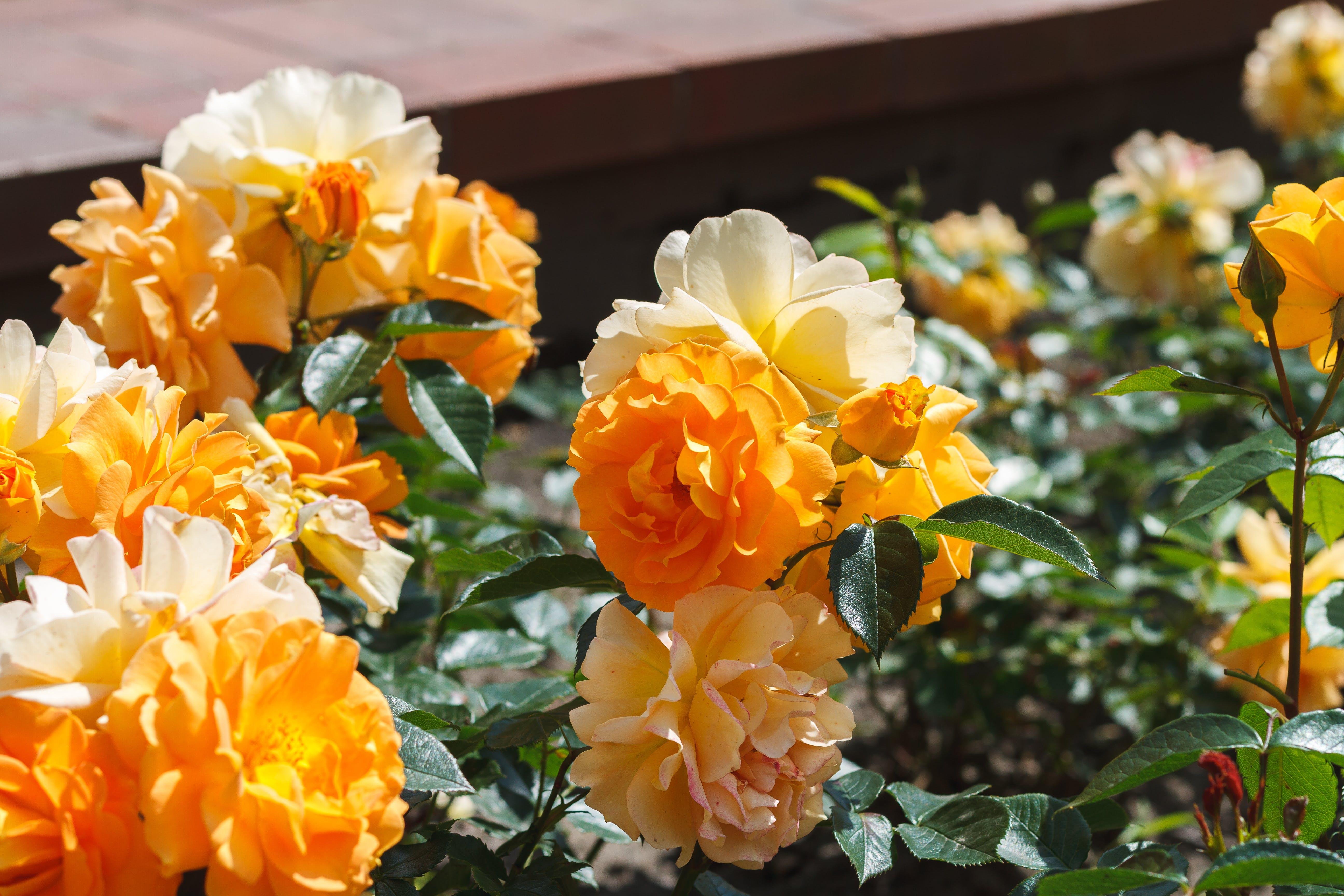 Free stock photo of beautiful, flowers, garden, kwiaty