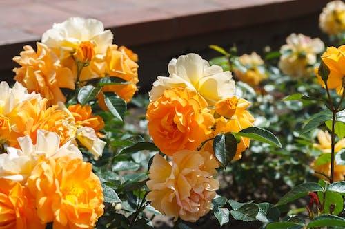 Gratis stockfoto met bloemen, geel, kwiaty, macro