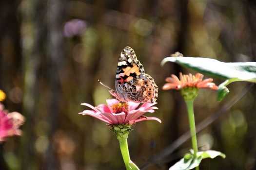Close-up Photography of a Butterfly on top of the Pink Flower