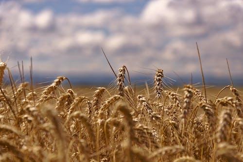 Close-Up Shot of a Barley