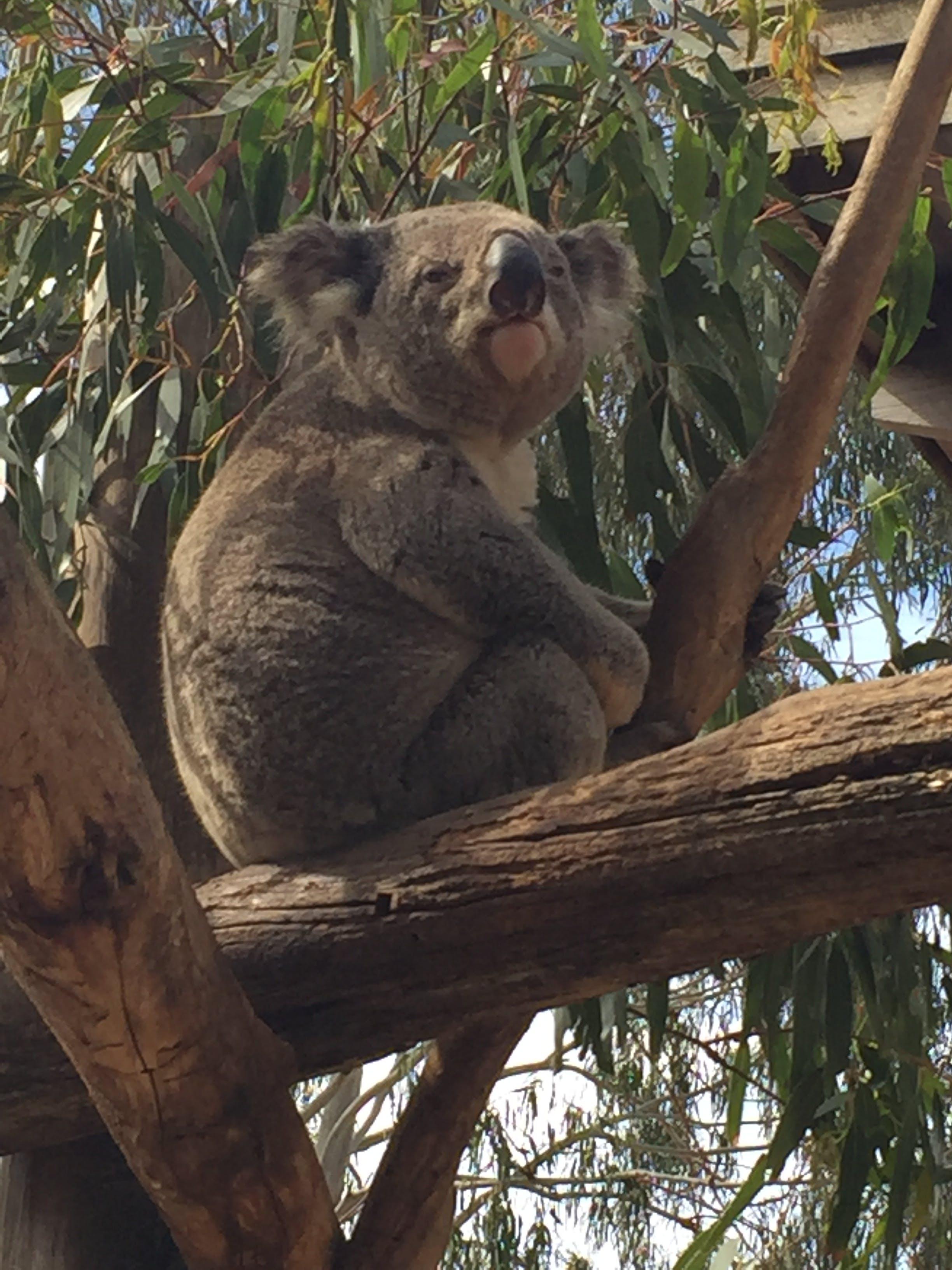 Kostenloses Stock Foto zu koala, maru park australien