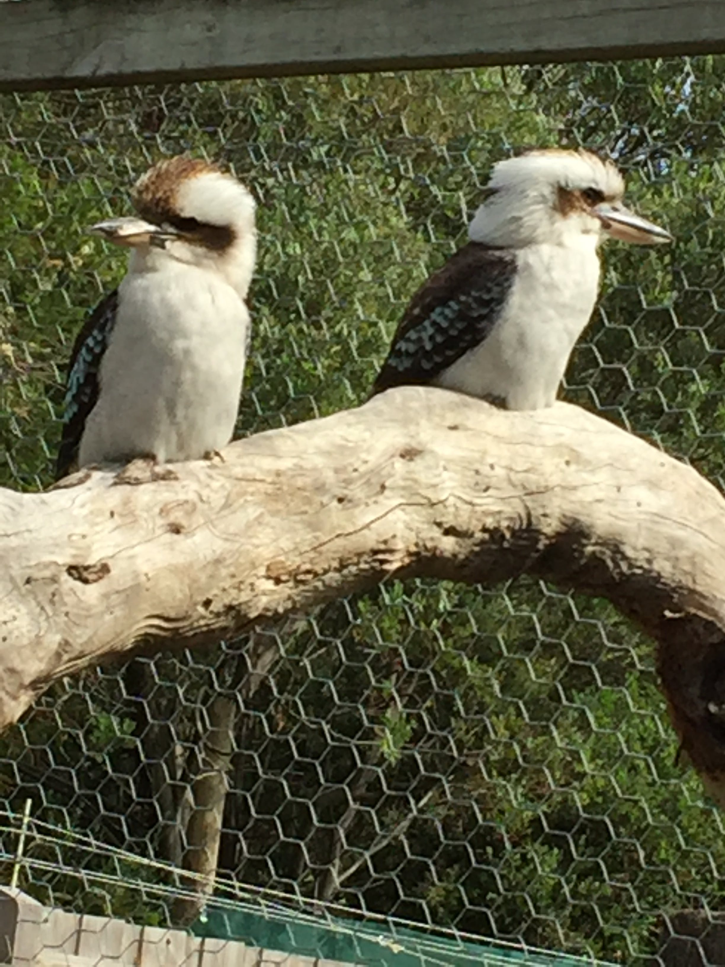 Kostenloses Stock Foto zu kookaburras maru park australien
