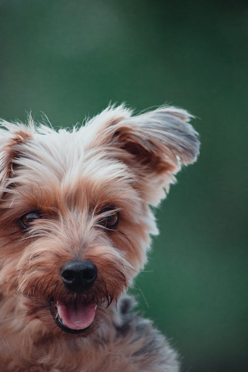 Free stock photo of animal photography, dog, Yorkshire Terrier