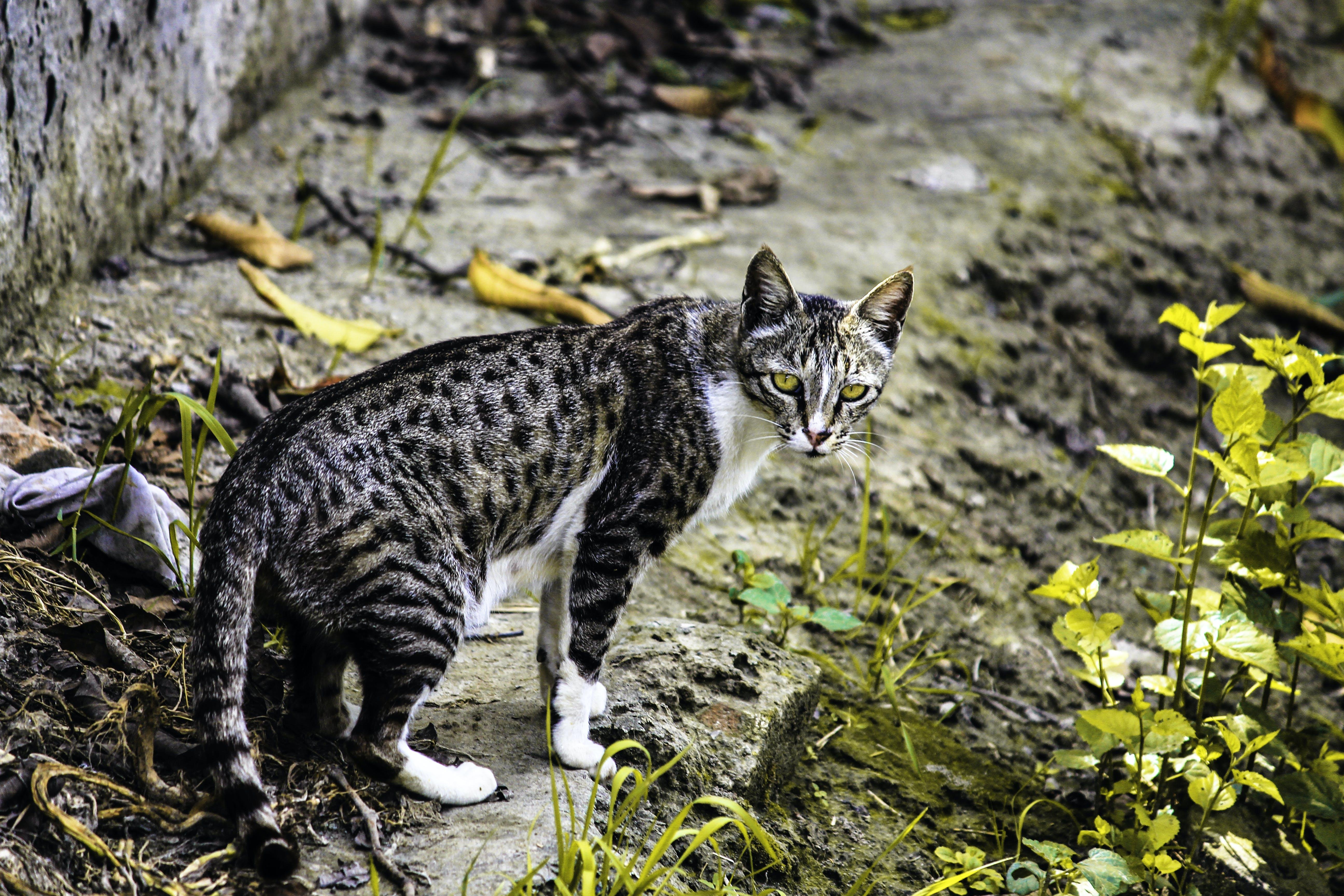 Brown Calico Cat