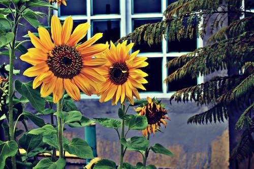 Photo of Three Sunflowers Near Window