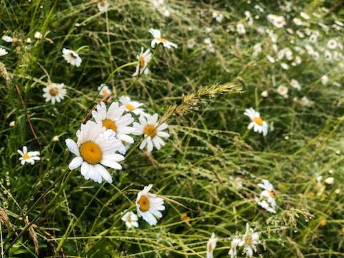 Photos gratuites de camomille, délicat, fleur