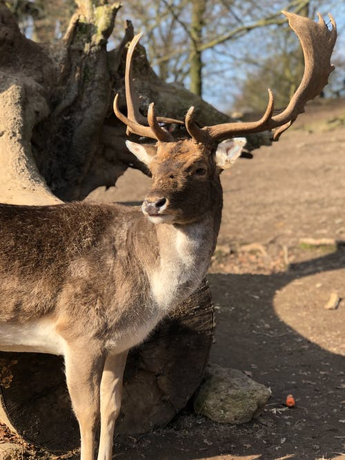 Close-Up Photo of a Deer with Big Antlers