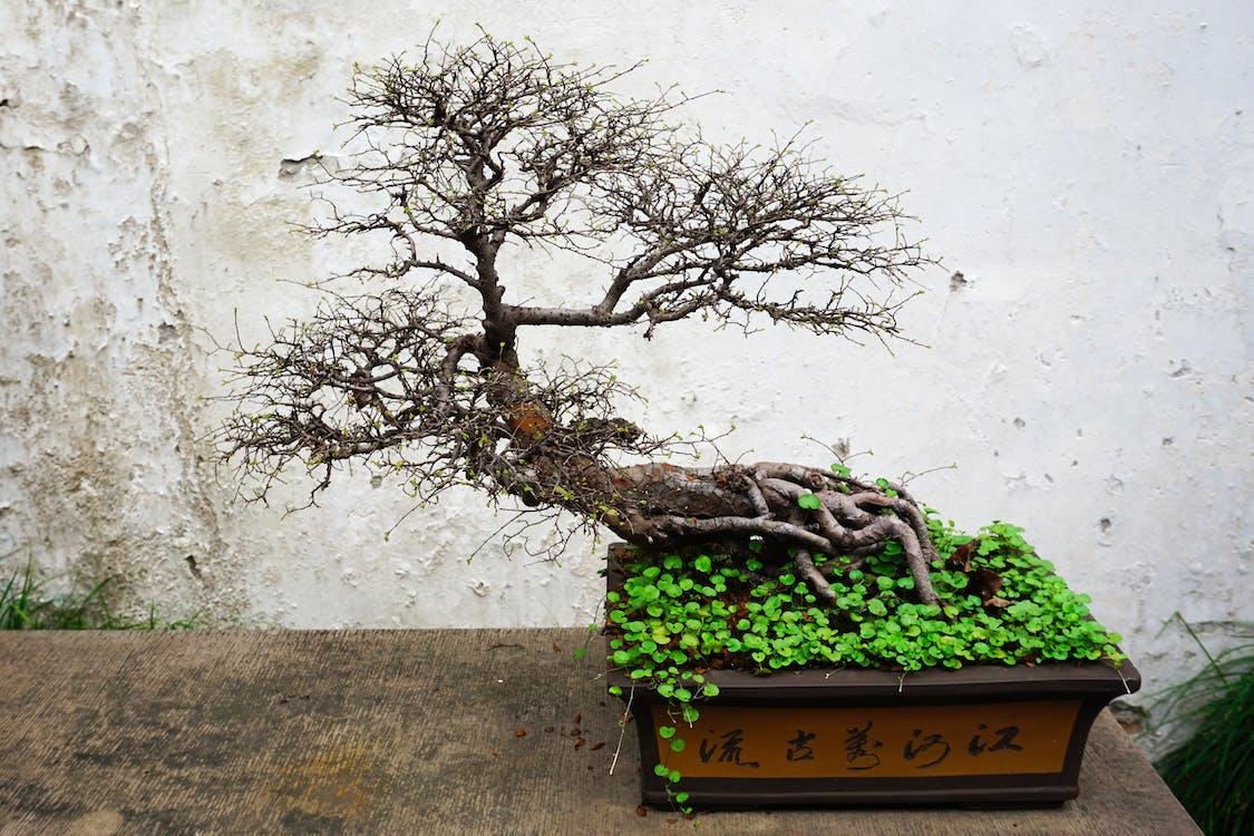 Ingyenes stockfotó ág, bonsai, bonsai fa témában