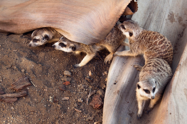 Four Gray Ferrets