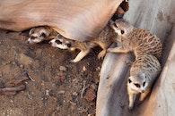 animal, meerkat