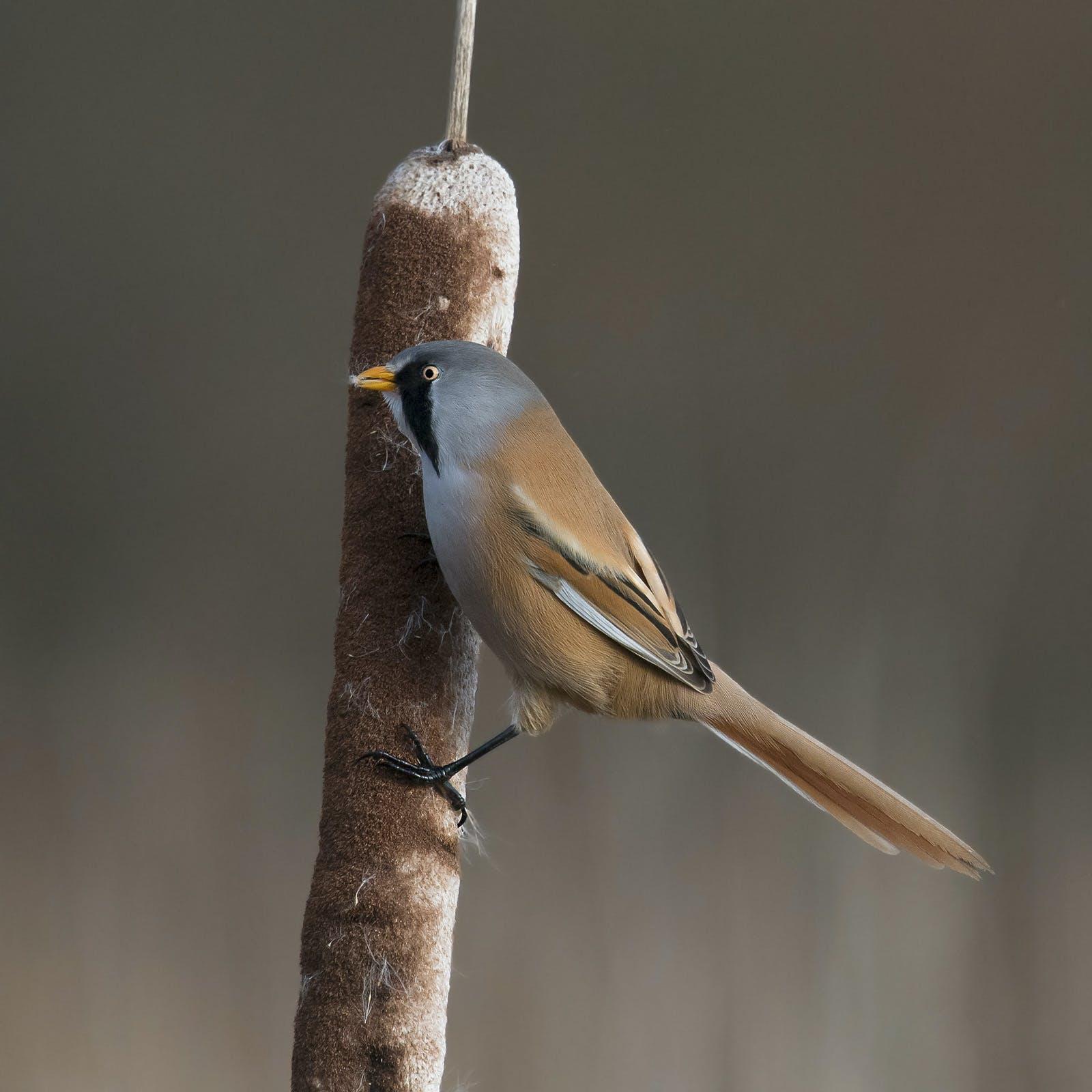 Free stock photo of Bearded Reedling, Reedmace, small bird