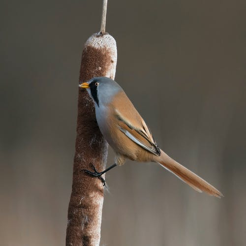 Бесплатное стоковое фото с бородатый ридлинг, маленькая птица, рогоз