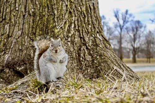 Gray and White Squirrel on Brown Grass