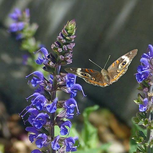 Foto stok gratis bunga biru