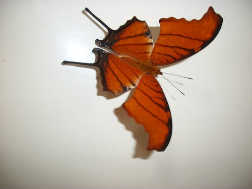 Free stock photo of mariposa