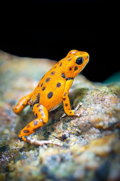 Immagine gratuita di ambiente, anfibio, animale, arancia