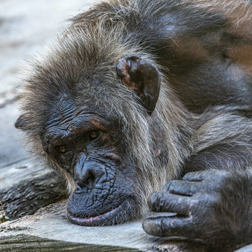 Close Up Photo of an Old Chimpanzee
