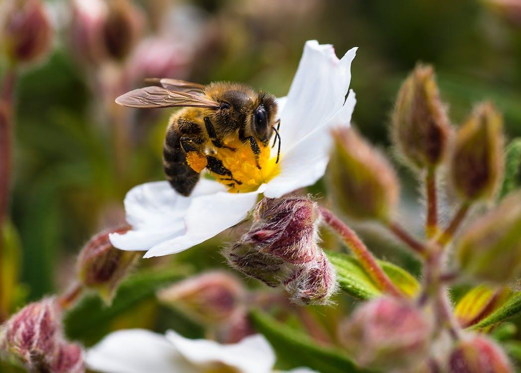 Free stock photo of bee, flower, pollen