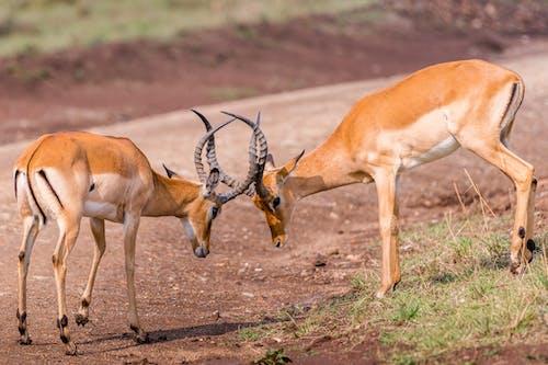 Kostenloses Stock Foto zu antelopes, barbarisch, böcke