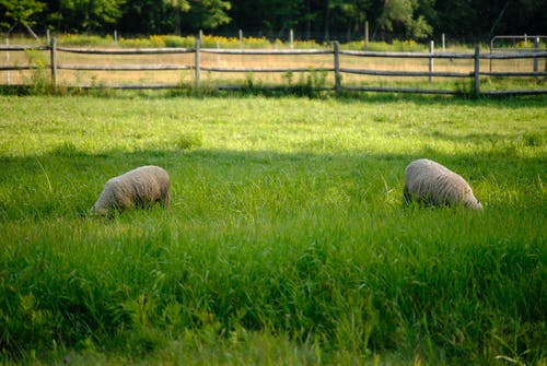 Cute domestic sheep pasturing together on verdant grassy lawn in peaceful sunny farmland