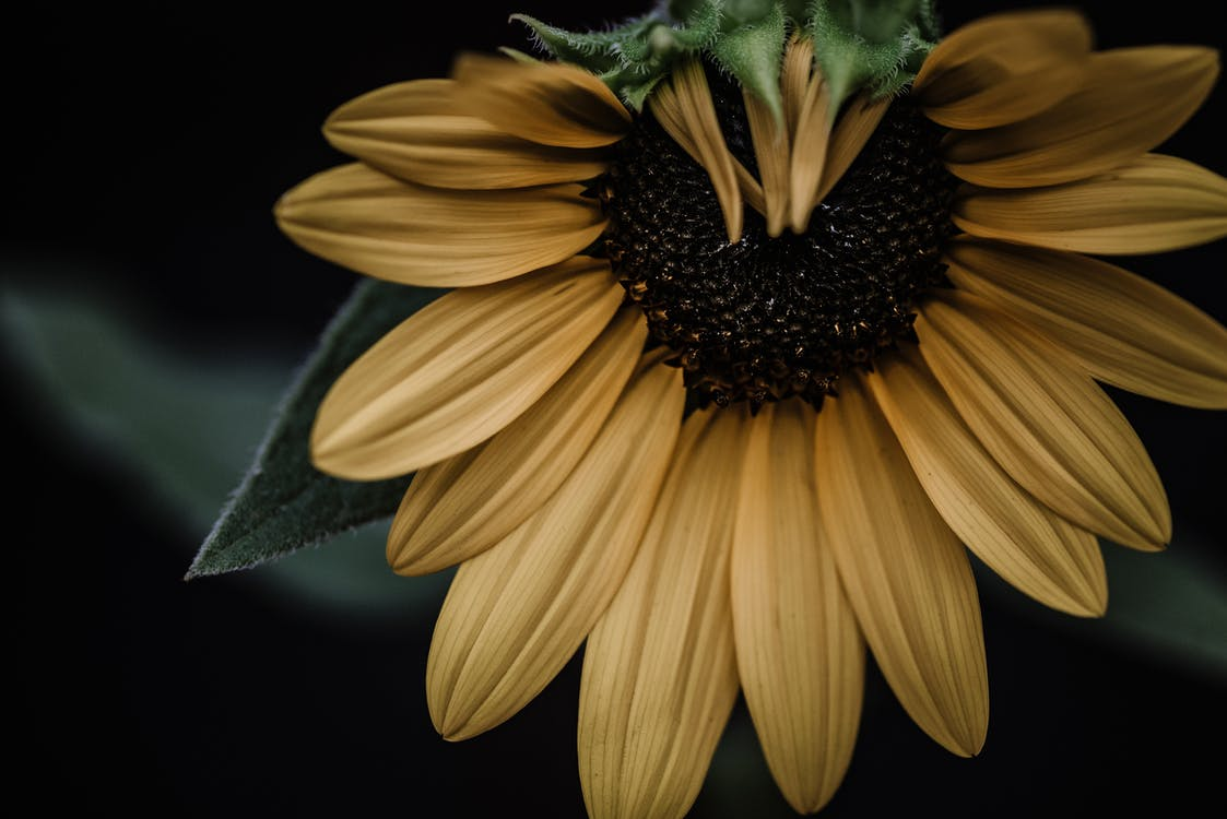 Sunflower with green leaves and yellow petals growing in nature
