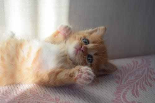 Orange Kitten Lying Down
