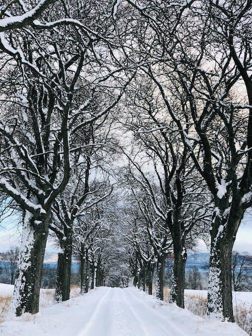 Immagine gratuita di alberi morti, coperto di neve, freddo