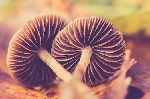 Two Brown Mushrooms On Ground