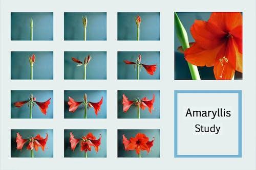 Foto stok gratis amarilis, bunga-bunga