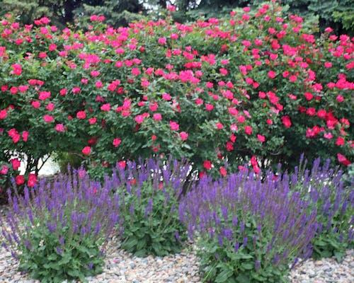 Foto stok gratis bunga merah, bunga-bunga