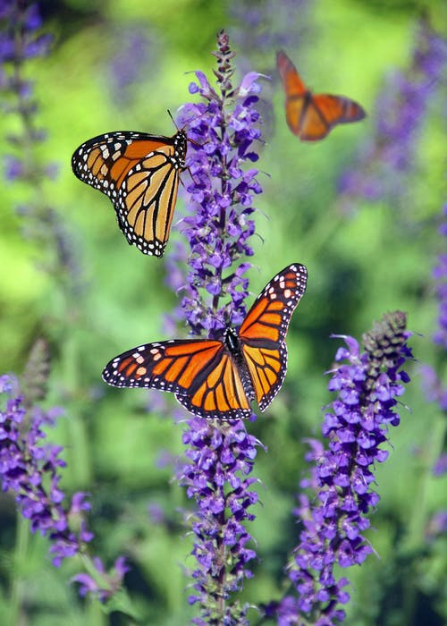 Selective Focus Photography Of Group Of Monarch Butterflies Relching On Purple Lavender Flower