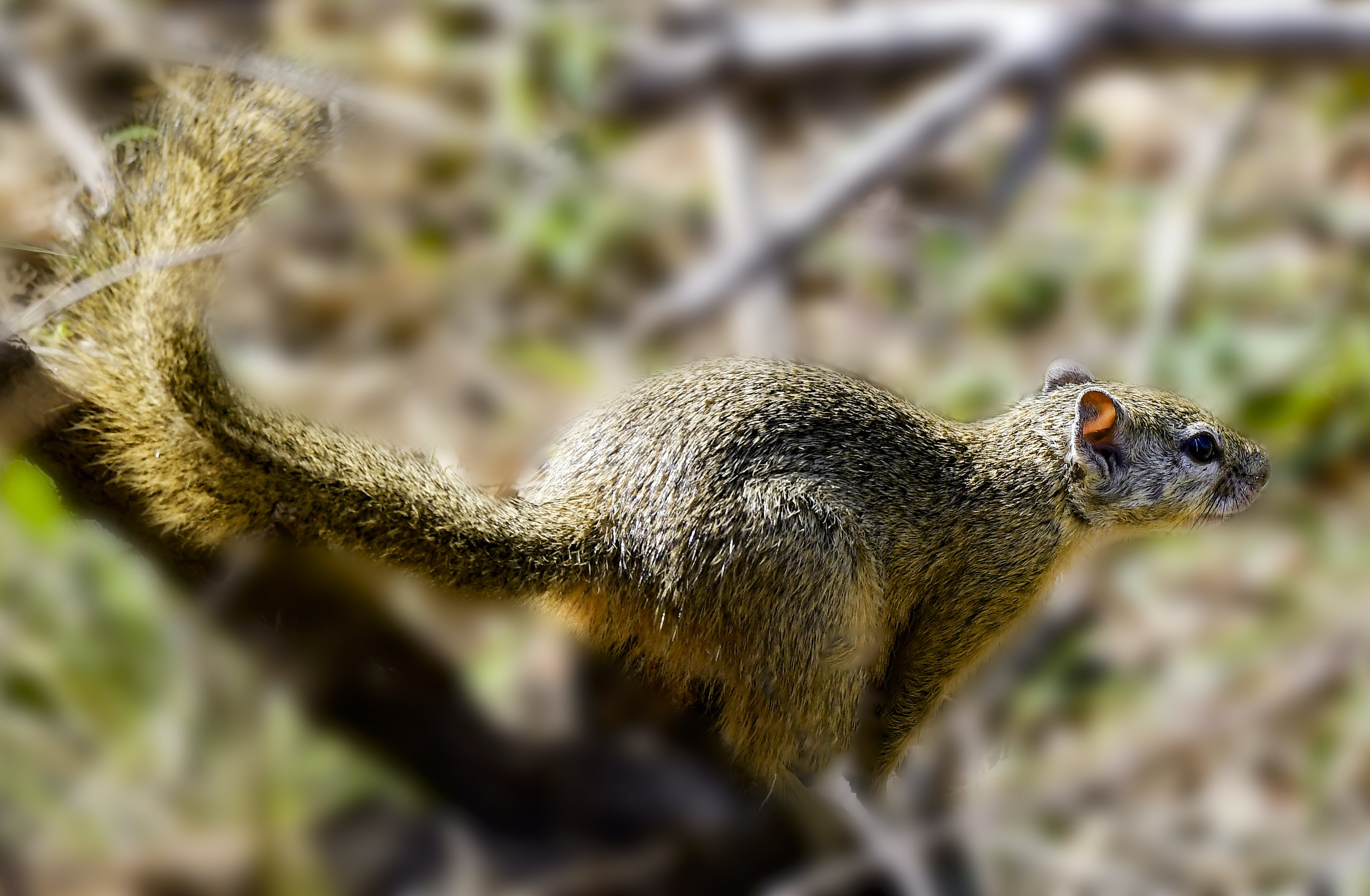 Close Up Photography of Brown Squirrel