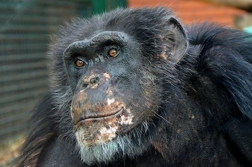 Close Up Photo of Chimpanzee