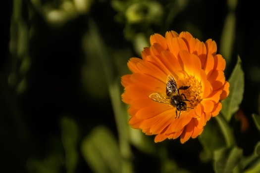 Black and Yellow Honey Bee Perch Orange Petaled Flower