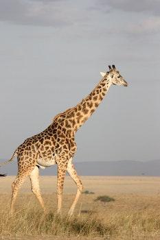 Kostenloses Stock Foto zu tier, gras, giraffe, safari