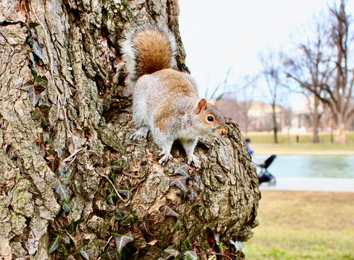 Brown Squirrel on Brown Tree