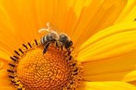 yellow, flower, bee