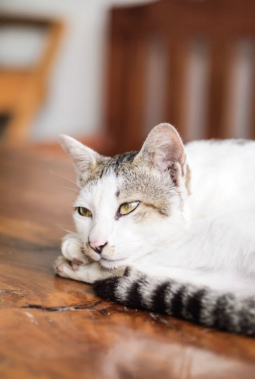 White and Black Cat Lying on Brown Wooden Table