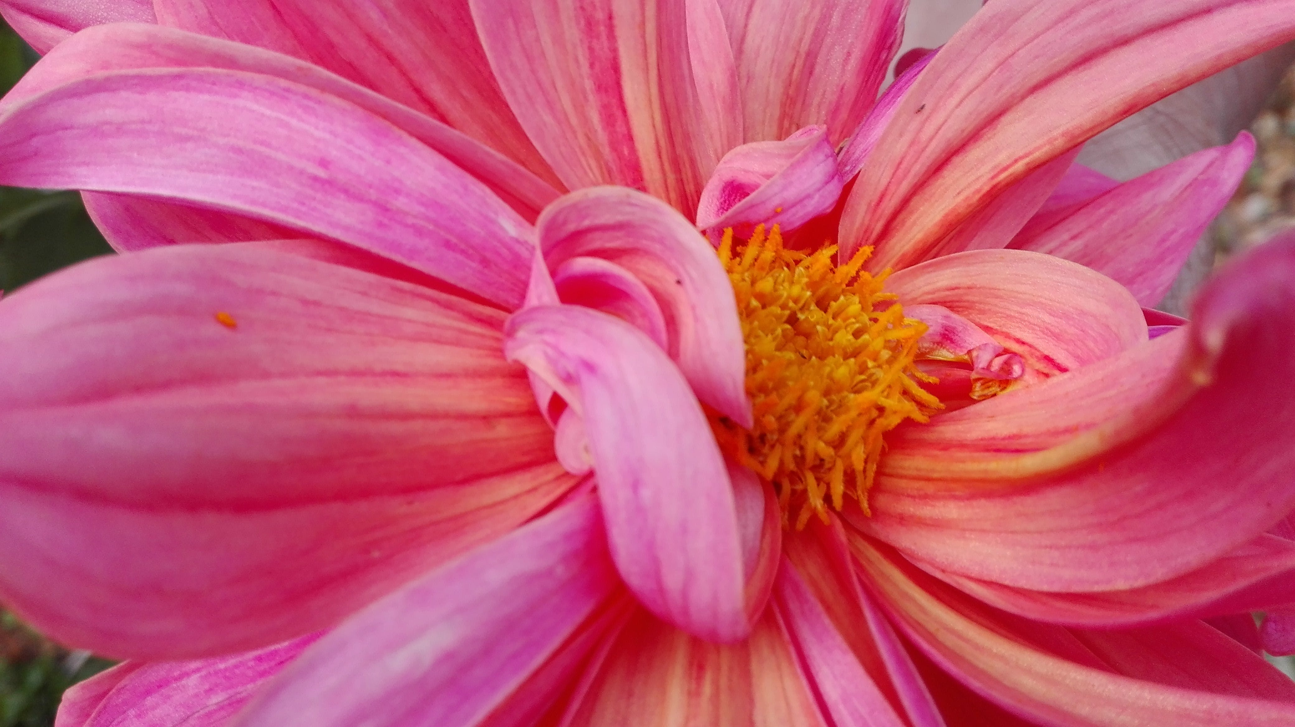 Macro Photography of Pink Dahlia Flower