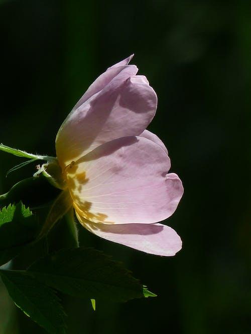 Photos gratuites de fleur, fleurir, flore, pétales