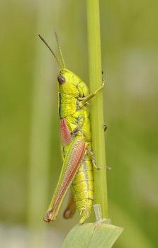 Kostenloses Stock Foto zu grün, insekt, makro, grashüpfer