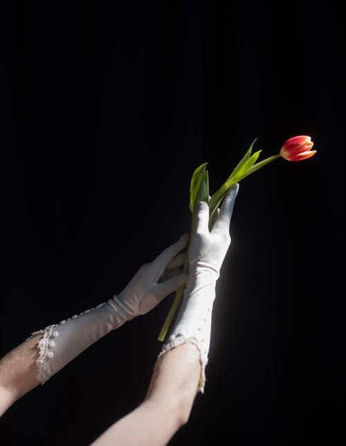 Person Holding Red Tulip Flower