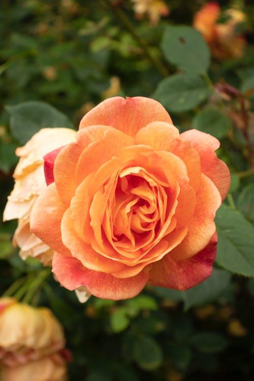 Pink Rose in Bloom