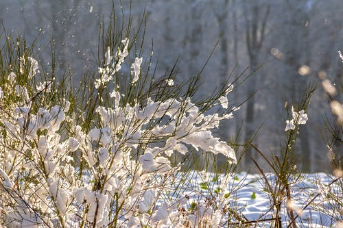 Free stock photo of shrub, snow, sunshine