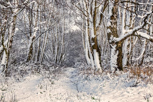 Free stock photo of forest, snow, trees