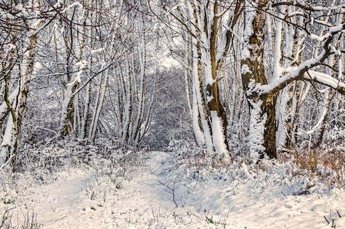 冬季, 森林, 樹木 的 免费素材图片