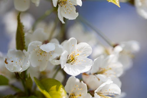 White Cherry Blossoms in Bloom