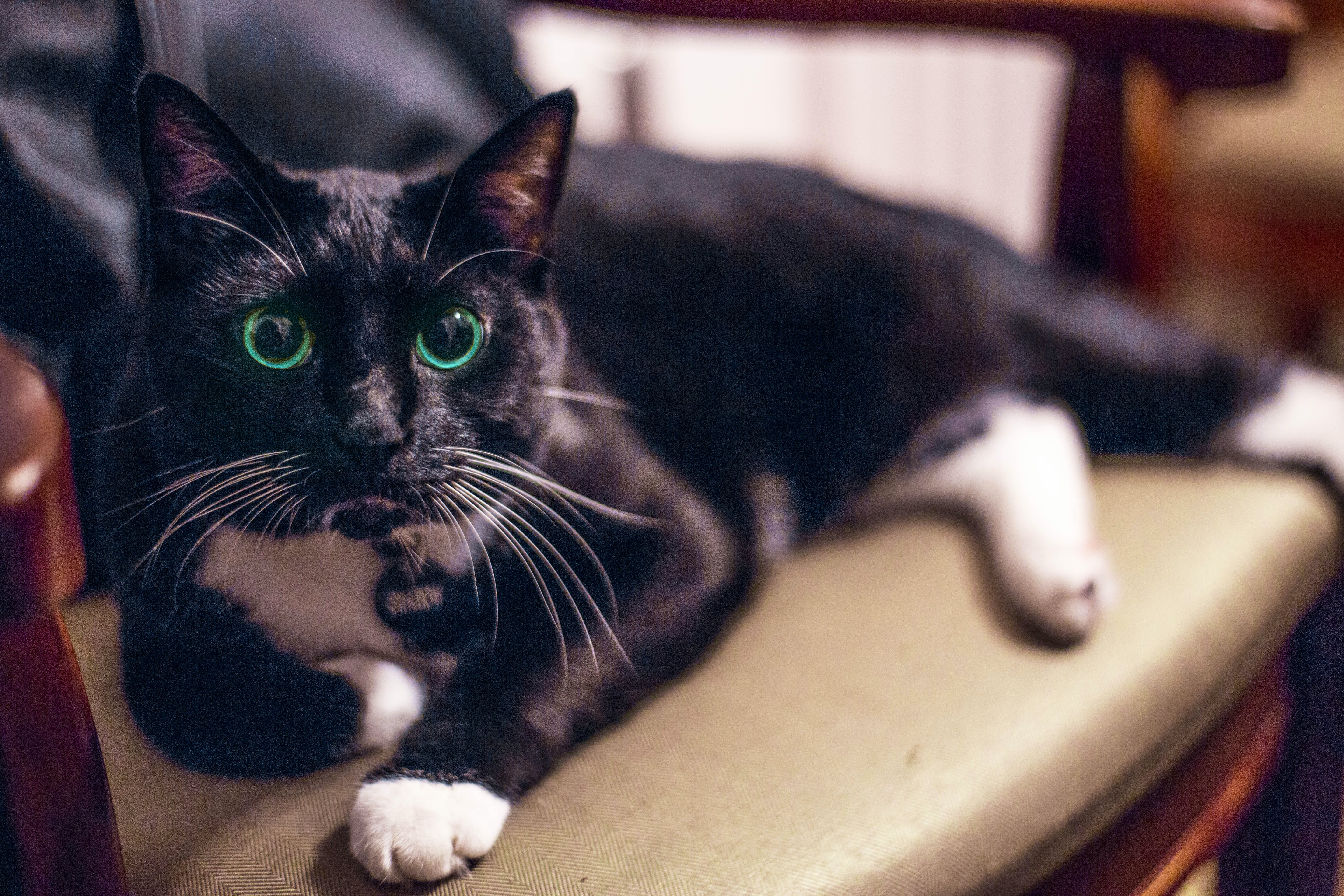 Free stock photo of canonpphoto, cat, chilling, green eyes